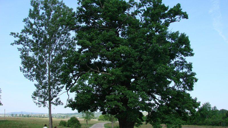 Padurea craiului stejarul secular din remetea valea rosia